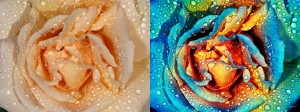 Rose (Before and after). © Russell Brown, All Rights Reserved.